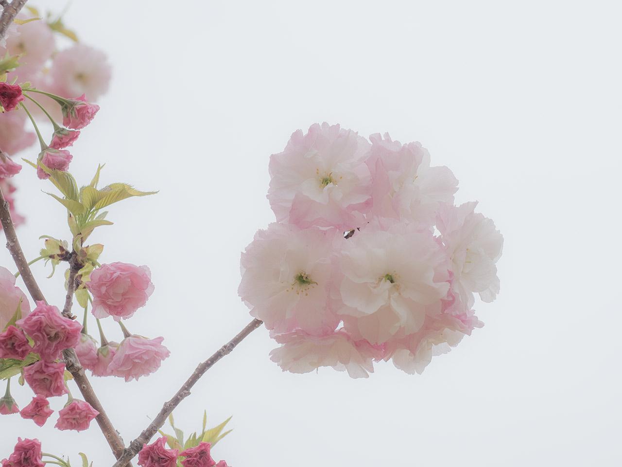 八重桜 2021